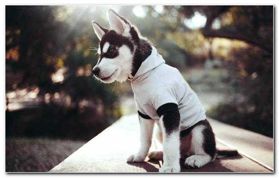Image Husky Vertebrate Siberian Husky Dog Puppy