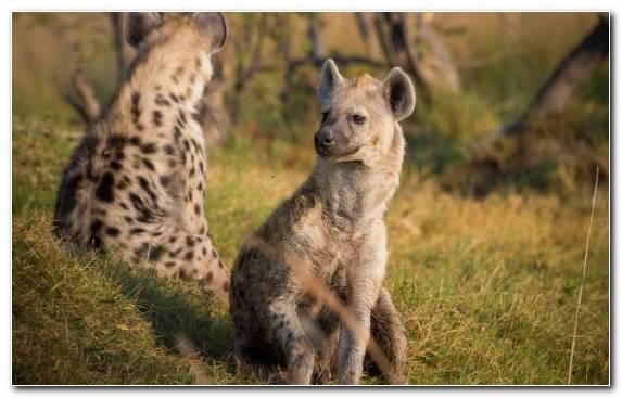 Image Hyena Snout Ngorongoro Conservation Area Serengeti Lion
