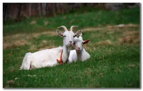 Image Iberian Ibex Grazing Livestock Goats Horn