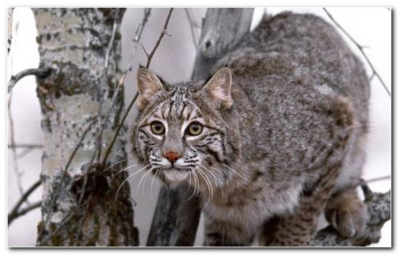 Image Iberian Lynx Mammal Small To Medium Sized Cats Bobcat Eurasian Lynx