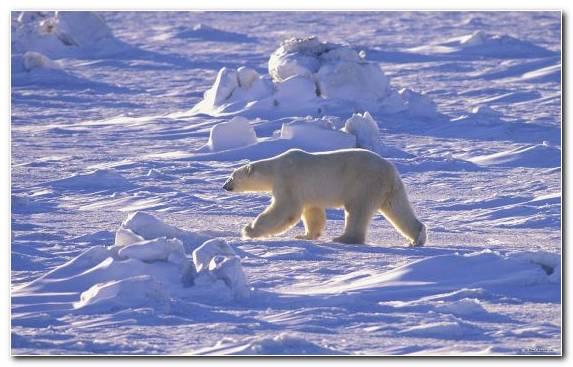 Image Ice Cap Polar Bear Ice Arctic Ocean Arctic