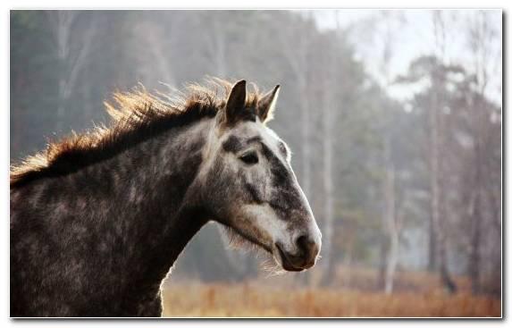 Image Icelandic Horse Snout Pack Animal Wild Horse Horse