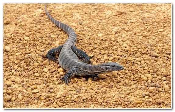 Image Iguana Scaled Reptile Terrestrial Animal Lizard Reptile