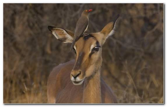 Image Impala Safari Terrestrial Animal Springbok Animal