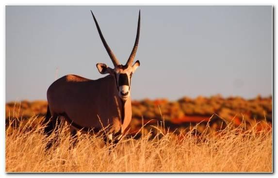 Image Impala Sossusvlei Horn Antelope Grazing