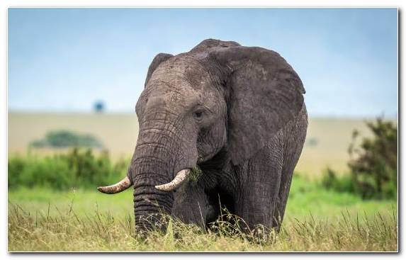 Image Indian Elephant African Bush Elephant Tusk Grazing Ecosystem