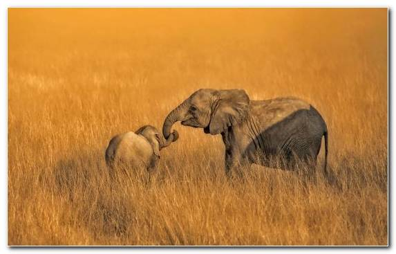 Image Indian Elephant Desert Park Terrestrial Animal Wildlife