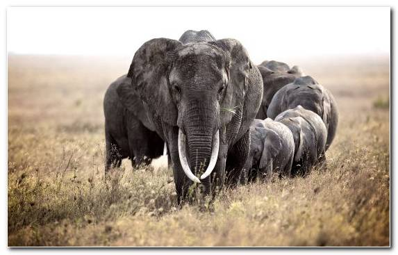 Image Indian Elephant Grassland Elephants And Mammoths Grazing Safari