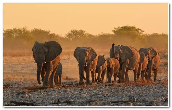 Image Indian Elephant Safari Elephants And Mammoths Desert Elephant