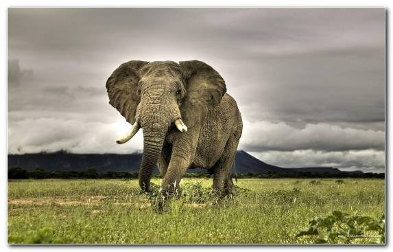 Image Indian Elephant Terrestrial Animal Elephant African Elephant Wildlife