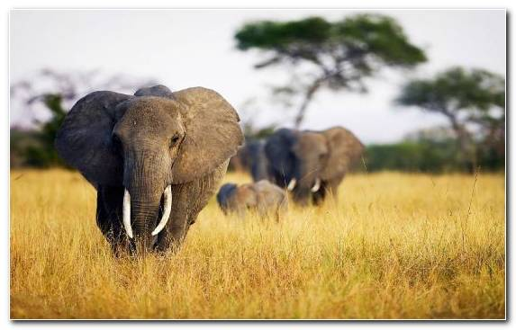 Image Indian Elephant Terrestrial Animal Wilderness Tusk Fauna