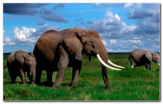 Image Indian Elephant Tusk Elephants And Mammoths Asian Elephant Maasai Mara