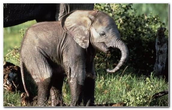 Image Indian Elephant Wildlife Fauna Elephants And Mammoths Terrestrial Animal
