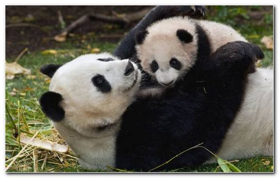 Image Infant Fauna Giant Panda Love Snout