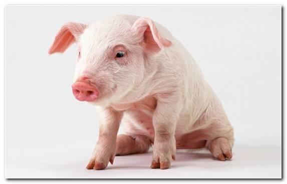Image Infant Piglet Miniature Pig Pig Livestock
