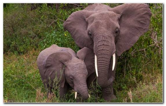 Image Infant Puppy Dog Elephants And Mammoths Terrestrial Animal