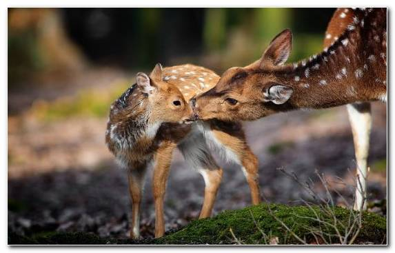 Image Infant White Tailed Deer Snout Deer Cat
