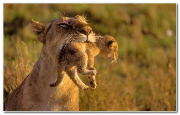 Image Infant Wildlife Puma Animal Tussilago