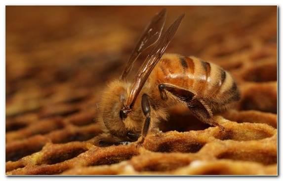 Image Insect Beekeeping Beekeeper Honeycomb Pollinator