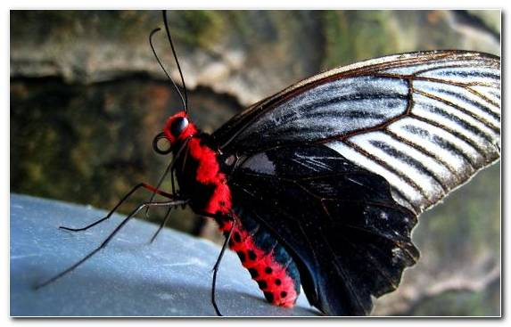 Image Insect Brush Footed Butterfly Arthropod Moth Invertebrate
