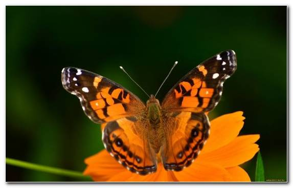 Image Insect Brush Footed Butterfly Butterfly Flower Nectar