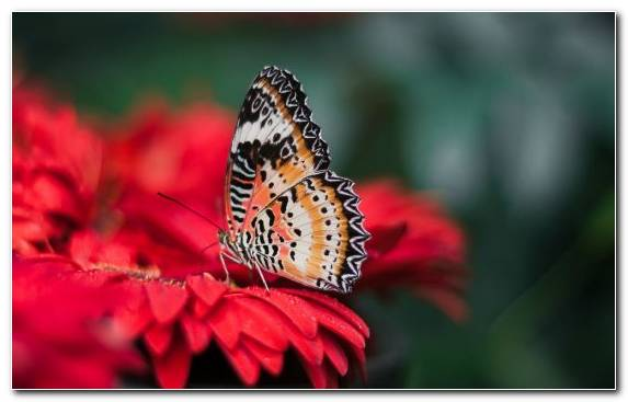 Image Insect Brush Footed Butterfly Butterfly Nectar Flower
