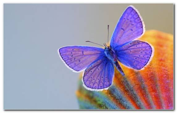 Image Insect Brush Footed Butterfly Moths And Butterflies Invertebrate Purple