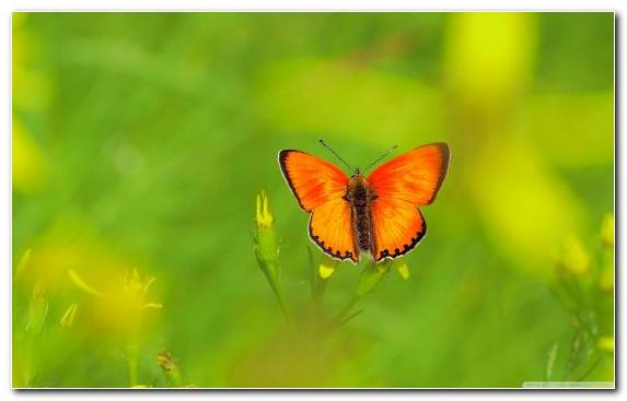Image Insect Butterfly Pollinator Brush Footed Butterfly Invertebrate