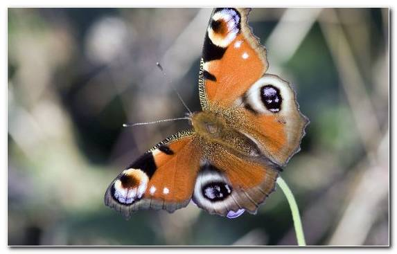 Image Insect Butterfly Pollinator Moths And Butterflies Brush Footed Butterfly