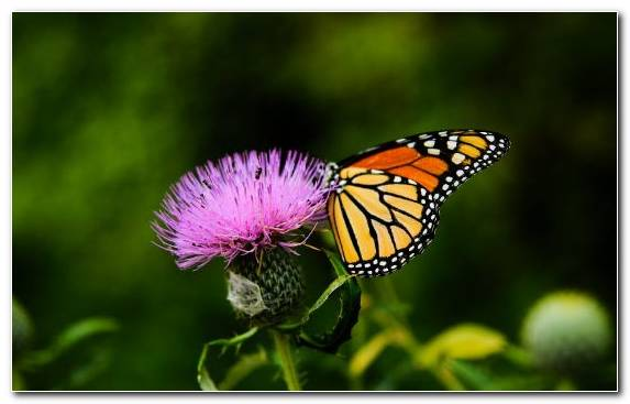 Image Insect Common Milkweed Monarch Butterfly Moths And Butterflies Flower