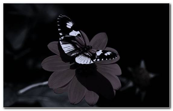 Image insect flora flower butterfly black and white
