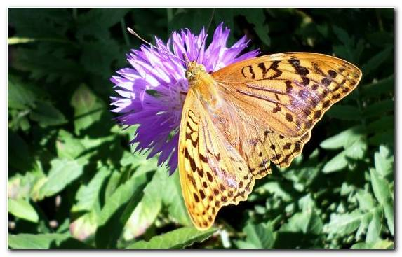 Image insect flower monarch butterfly invertebrate nectar