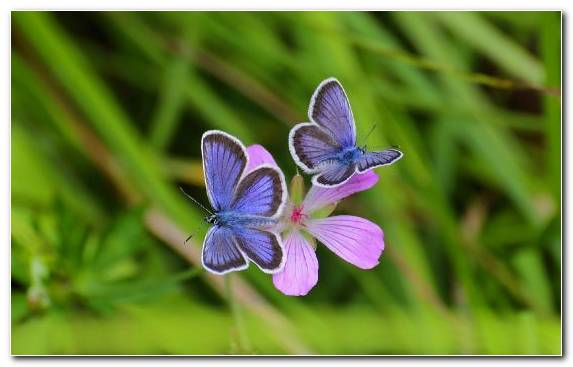 Image Insect Flower Nectar Lycaenid Blue