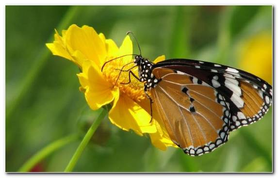 Image Insect Invertebrate Nectar Butterfly Monarch Butterfly