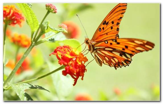Image Insect Invertebrate Pollinator Flower Brush Footed Butterfly