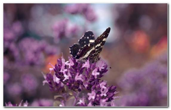 Image Insect Moths And Butterflies English Lavender Butterfly Pollinator