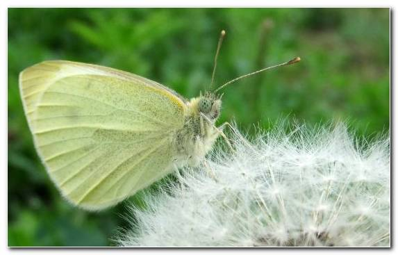Image Insect Pieridae Light Moths And Butterflies Lycaenid