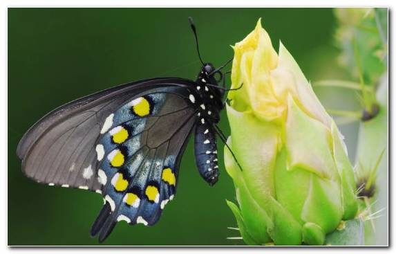 Image Insect Swallowtail Butterfly Lycaenid Moth Cactus