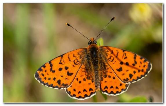 Image Insect Wildlife Monarch Butterfly Invertebrate Brush Footed Butterfly