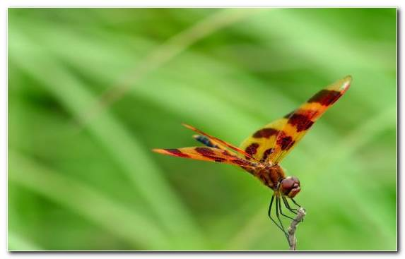 Image Insect Wing Dragonflies And Damseflies Invertebrates Plant Stem Wildlife
