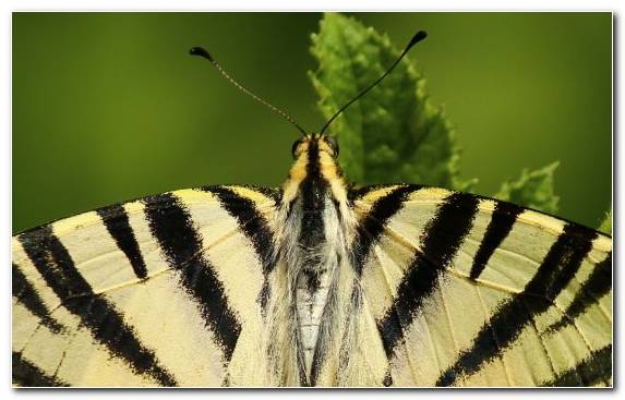 Image Invertebrate Butterfly Flora Swallowtail Butterfly Close Up