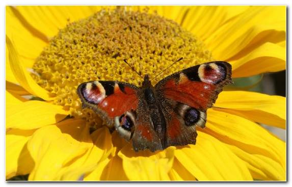Image Invertebrate Flower Brush Footed Butterfly Pollinator Lycaenid