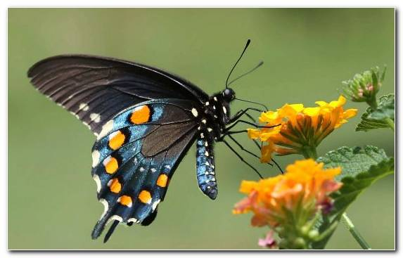 Image Invertebrate Green Blue Yellow Butterfly