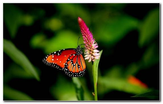 Image Invertebrate Insect Moths And Butterflies Butterfly Pollinator