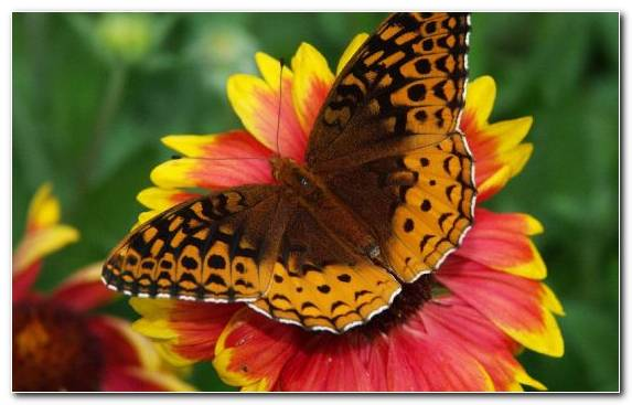 Image Invertebrate Moths And Butterflies Insect Butterfly Pollinator