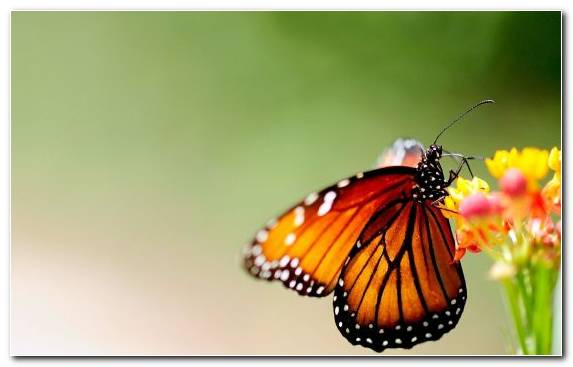 Image Invertebrate Nectar Insect Monarch Butterfly Brush Footed Butterfly