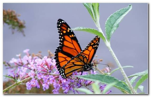 Image invertebrate pieridae monarch butterfly butterfly insect