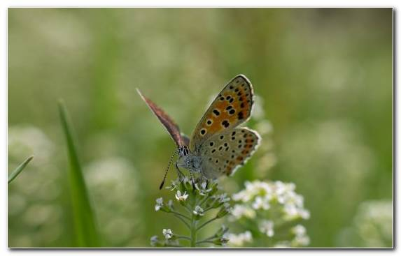 Image Invertebrate Pollinator Insect Lycaenid Butterfly