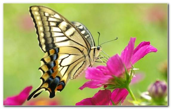 Image Invertebrate Pollinator Monarch Butterfly Flower Brush Footed Butterfly