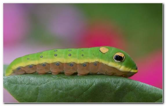 Image Invertebrates Butterfly Insect Macro Photography Larva